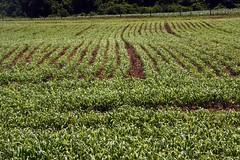 Field of pearl millet