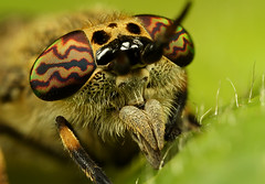 Horse fly (Alliec2007) Tags: detail macro eye leaf horsefly mpe65 mt24ex focusstacked