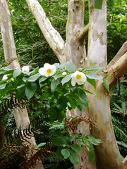 Stewartia pseudocamellia blooms and bark