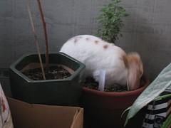 IMG_2109 (joandirk) Tags: cadbury rabbits lop minilop