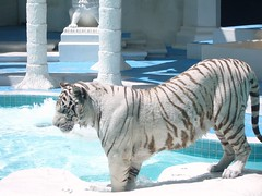 Mirage Las vegas  White Tiger (10,000 Views)