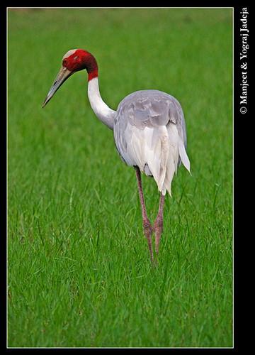 sarus crane in field