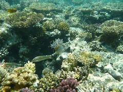 P1000259 (henkerik) Tags: red sea fish coral gulf dive egypt diving el snorkeling gouna exotic reef hurghada suez