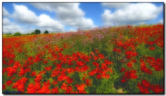 POPPIES (mickeydud) Tags: flowers friends flower colour nature landscape kent blossoms pixels naturalworld villagelife eynsford artisticexpression fantasticflower 25faves 15challengeswinner phototosmileabout betterthangood qualitypixels thechallengefactory vanagram storybookwinner