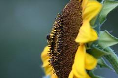 IMG_3525 (Blackavar Lion) Tags: flowers flower macro closeup bokeh bee sunflower bloom abeja tournesol abeille girasol bij biene  sonnenblume zonnebloem hymenoptera    apoidea  canonrebelxti  anthophila  2be2176f59cfac7c3f99b44a73b29c9b