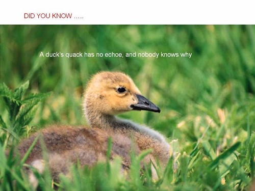 interesting facts ducks