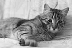 Lince (Fotografia Diselgraf) Tags: blackandwhite bw blancoynegro cat bn gato salamanca lince diselgraf castillayleon cyl jpascual