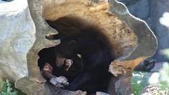 DSC04051 (Jason Everett) Tags: chicago zoo bears tigers lions lincolnparkzoo lincolnpark ohmy