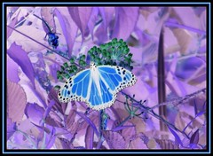Winged Blue (emeraldspiryt) Tags: butterfly insect outdoors framed 365 invert colorart blueribbonwinner creativephoto anawesomeshot colorphotoaward colourartaward colorartaward betterthangood passionateinspirationsaward colorphotoaward~bronze