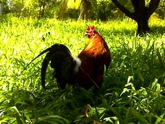lowland warrior (nikkydems) Tags: chicken sweater lemons rooster cockfight greys manok tari sabong gamefowls