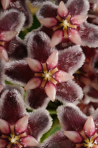 Hoya pubicalyx (plain leaved form from PS)