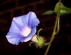 My Blue Heaven (Kurlylox1) Tags: blue summer flower blackbackground trumpet vine climbing morningglory twining heavenlyblue ipomoeatricolor bej fantasticflower flowersmacroworld macroflowerlovers awesomeblossoms