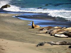 King of the beach (cribba2003) Tags: california usa color beach strand highway1 lazy seal lat elephantseal californien sl pseudohdr dphdr elefantsl