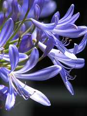 agapanthus (lotusthreads) Tags: agapanthus
