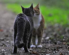 Muffi&Zazza (Mats&Muffi) Tags: pet cats pets animal cat nikon tabby kitty d300 muffi zazza cc100