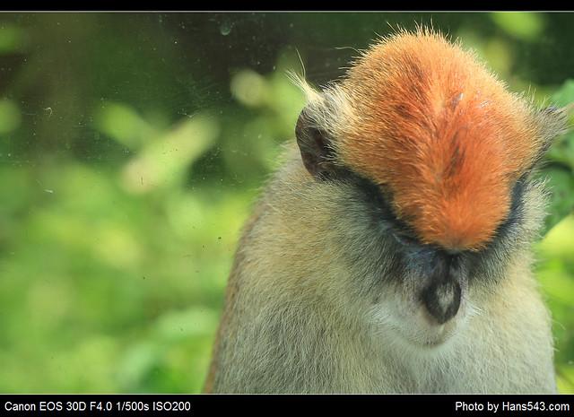 「唉~」- 紅猴_Patas Monkey_01