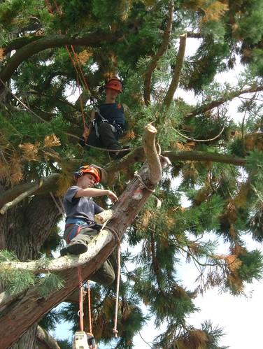 tree felling 012