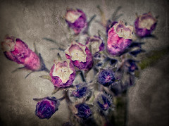 Weathered (Cilest) Tags: old pink flowers photoshop vintage petals cilest kurt grunge bloom vignette grungy oldfashioned flowery weatherd