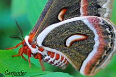Cecropia Moth (Denzil C) Tags: color macro tree green nature butterfly explorer moth wv smorgasbord cecropia abigfave abigfav theunforgettablepictures colourartaward artlegacy goldstaraward denzilcarpenter