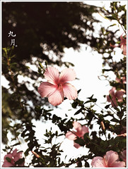 _九月。 (eliot.) Tags: autumn gabe hsinchu taiwan september hibiscus shortstory eliot suwei dryeh
