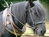 Workhorse (Mr PloppyPants) Tags: horse suffolk fuji norfolk f100 punch shire gressenhall norfolkmuseumsarchaeologyservice gressenhallfarmworkhouse