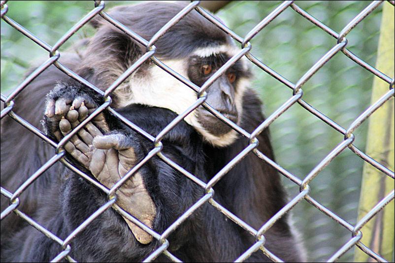 Gibbon?