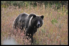 be nice (baghi.fr) Tags: bear nature public nationalpark wildlife favorites grand grizzly teton picnik ours specanimal cromainbaghi
