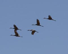 Sandhill Cranes in Flight @ Horicon Marsh (michaelmatusinec) Tags: wisconsin digitalcameraclub horiconmarsh canoneos40d fall2008sandhillcranes