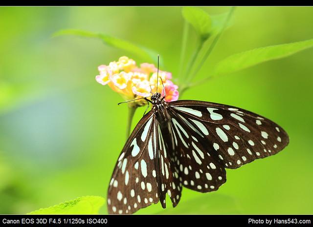 蝴蝶_Butterfly_06