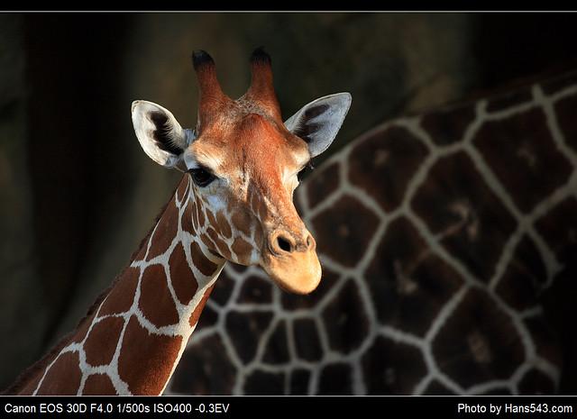 長頸鹿_Giraffe_05
