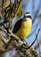 Bem-te-vi - Great kiskadee (Pintangus sulphuratus) (claudio.marcio2) Tags: bird nature bemtevi natureza pssaro birdwatcher allyouneedislove greatkiskadee pitangussulphuratus justonelook wingedwonders mywinners abigfave nationalgeographicareyougoodenough avianexcellence ithinkthisisartaward excellenceinavianphotography citritgroup thenaturegroup worldofanimals prettynaturephotos naturewatcher theworldsbestnaturewildlifeandmacrophotography everydayissunday theperfectphotographer astoundingimage natureislovely superamazingshotsaward goldstaraward natureselegantshots birdsinsideandoutside rubyphotographer feathersbeaksbirds worldnaturewildlifecloseup vosplusbellesphotos thewonderfulworldofbirds naturegreenstar