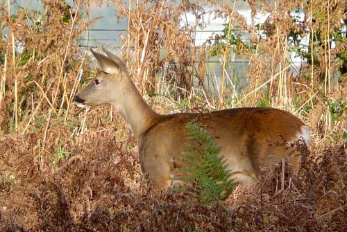 Deer in profile