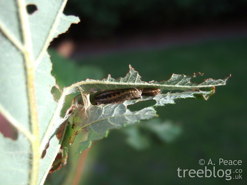 two caterpillars in alder leaf den