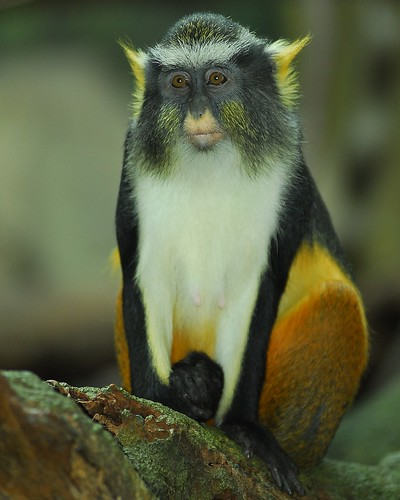 wallpapers of animal monkey wolf's pictures