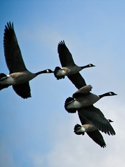 Canadian Geese on the Wing