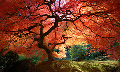 Japanese Maple in Autumn (KrissyAldous.com) Tags: autumn sunlight tree fall colors d50 portland japanese maple nikon branches under sigma1020 challengeyouwinner wtmwchallengewinner