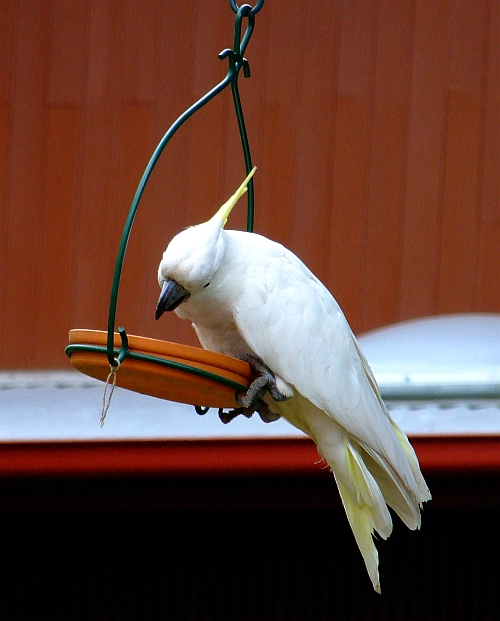 hungry cockatoo