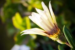 Opening-up to the World... (SonOfJordan) Tags: light blur flower nature canon eos bokeh amman jordan colourful xsi 450d  samawi sonofjordan shadisamawi  wwwshadisamawicom