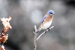 Eastern Bluebird by Birdfreak.com