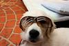 Versace Pup (Sarah_85) Tags: cute goldenretriever puppy bella versace sunnies damniwishidtakenthat flickrlovers explorenov11157