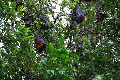 Más murciélagos colgando de los árboles