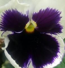 Purple explosion. (tracyhughes2_7. CPAGB LRPS) Tags: white flower macro nature yellow closeup petals purple fantasticflower mywinners wonderfulworldofflowers 100commentgroup