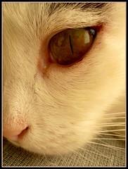 Closeup (sevgi_durmaz) Tags: macro beautiful beauty animal closeup cat eyes cateyes pamuk supershot kissablekat bestofcats