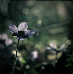 Hepatica (iiana) Tags: flower 07 hepatica youvsthebest thepinnaclehof