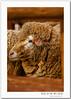 Sheep~ Happy Furry Friday! (Kelvin Wong (Away)) Tags: life portrait nature beauty animal canon wonderful fur amazing sheep superb display australia exhibition excellent adelaide southaustralia showground royaladelaideshow interestiness canoneos400d canoneosrebelxti aplusphoto canoneoskissx kelvinwong piscesromance
