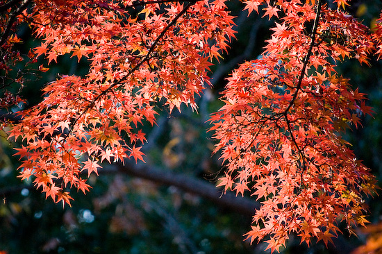 maple leaves_1085