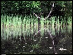 Tall grasses (Sue, Toronto) Tags: lake reflection tree water grass muskoka