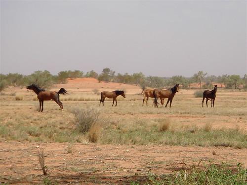 Wild Horses 2 (brumbies)