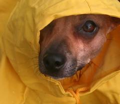 Rain Rain Go Away (Boered) Tags: dog rain explore pokey poncho thelittledoglaughed 52weeksfordogs hehatesgettingwet