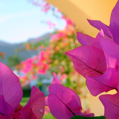 dahab macro (5) (kexi) Tags: pink flowers blue red macro green yellow wow square nikon december bokeh dahab egypt bougainvillea coolpix 2008 instantfave thebestofday